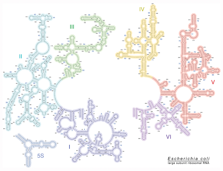 Rna, ribosomal, 23s; 23S Ribosomal RNA